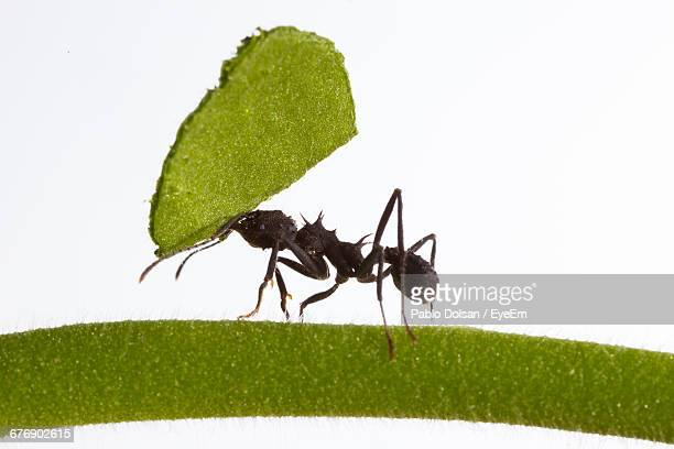 Close-Up Of Ant Carrying Leaf On Stem Against White Background