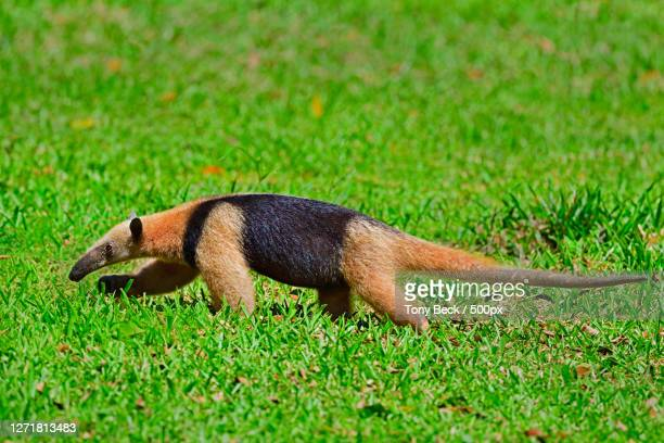 close-up of ant eater on field - tamandua anteater stock pictures, royalty-free photos & images