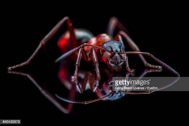 Close-Up Of Ant On Black Background