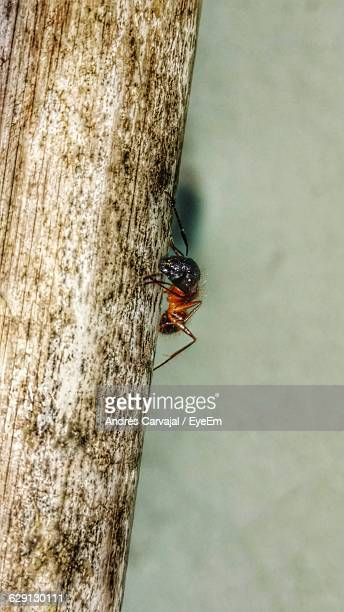 close-up of ant on wood - carvajal stock photos and pictures