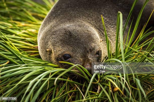 Close-up of Antarctic fur seal in grass