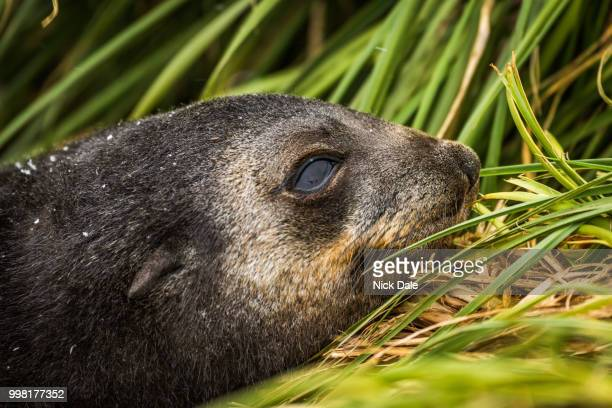 Close-up of Antarctic fur seal pup head