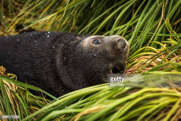 Close-up of Antarctic fur seal pup upside-down