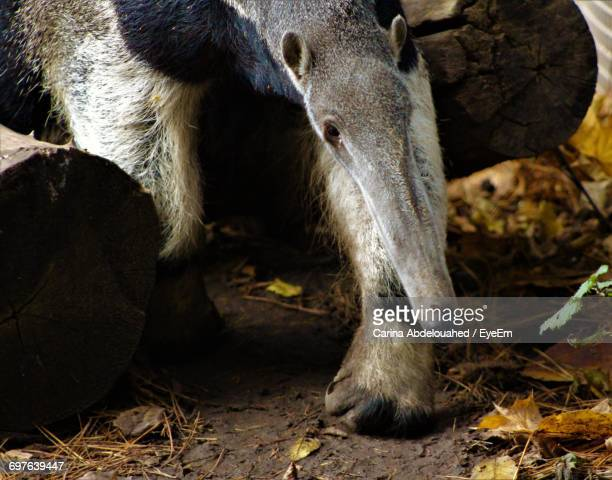 close-up of anteater - anteater stock-fotos und bilder