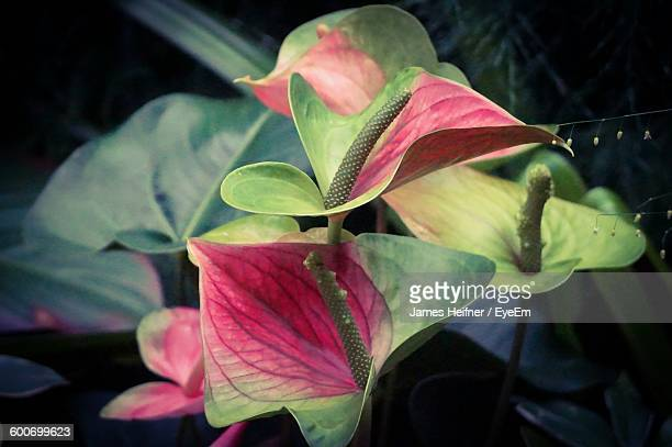 Close-Up Of Anthurium Blooming Outdoors