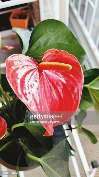 Close-Up Of Anthurium Blooming Window