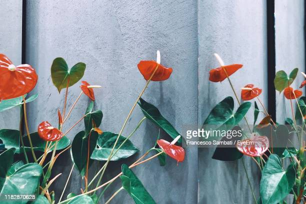 close-up of anthurium plants against wall - anthurium stock pictures, royalty-free photos & images