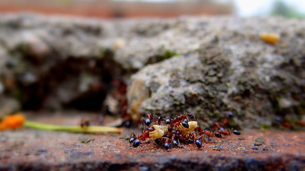 Close-Up Of Ants Carrying Piece Of Food