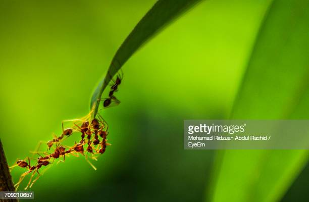 Close-Up Of Ants Climbing Leaf