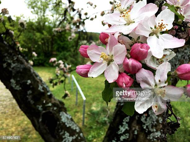 Close-Up Of Apple Blossom Blooming On Tree