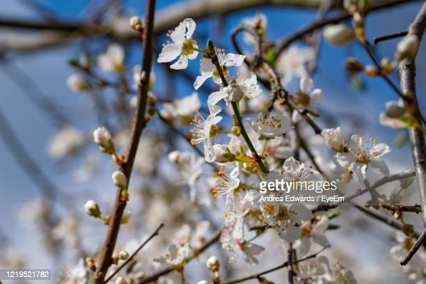 close-up of apple blossoms in spring - blossom stock pictures, royalty-free photos & images