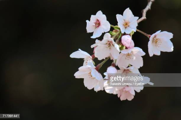 Close-Up Of Apple Blossoms In Spring