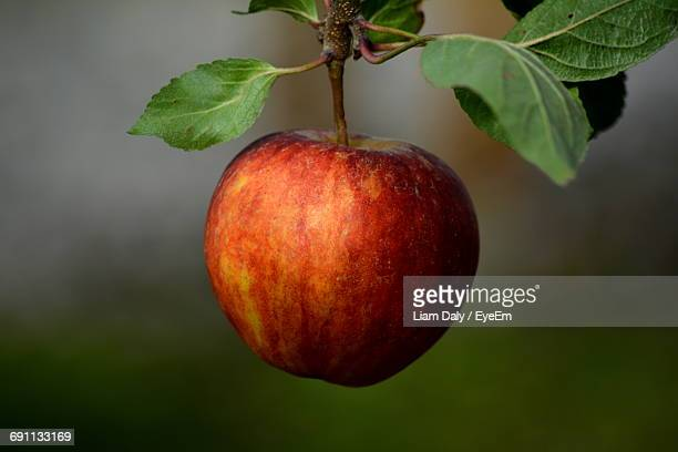 close-up of apple growing on branch of tree - appelboom stockfoto's en -beelden