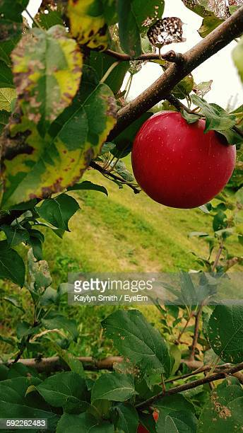 Close-Up Of Apple Growing On Tree At Field