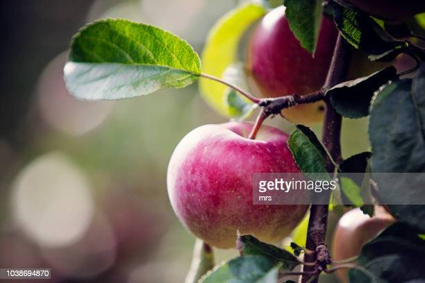 close-up of apple growing on tree - appelboom stockfoto's en -beelden