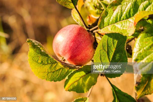 Close-Up Of Apple Growing On Tree