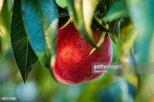 Close-up of apple hanging on tree, California, USA