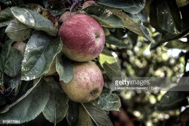 Close-Up Of Apple Hanging On Tree