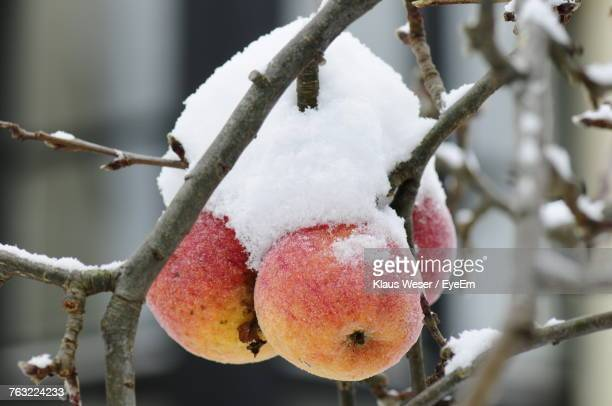 Close-Up Of Apples Covered In Snow On Tree During Winter