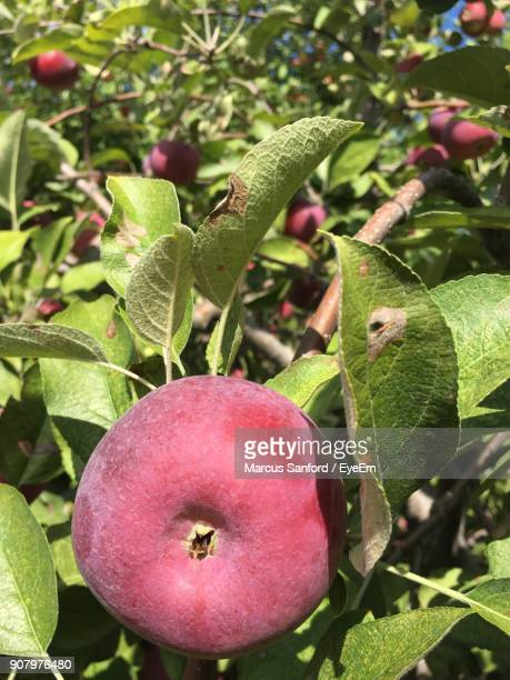 Close-Up Of Apples Growing On Tree During Sunny Day