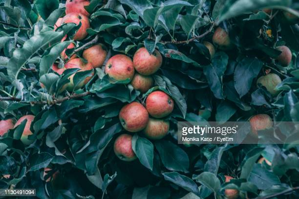 close-up of apples growing on tree - apfelbaum stock-fotos und bilder