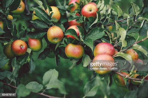close-up of apples growing on tree - appelboom stockfoto's en -beelden