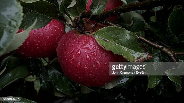 Close-Up Of Apples Growing On Wet Tree