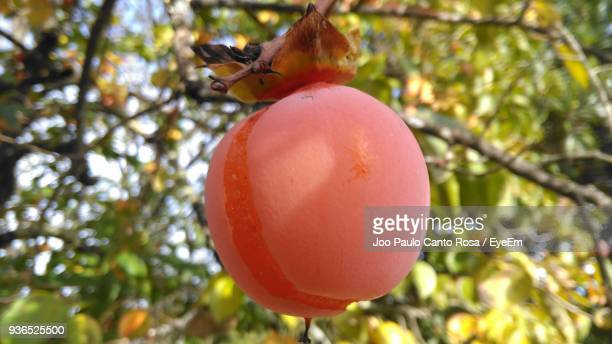Close-Up Of Apricot Growing On Tree