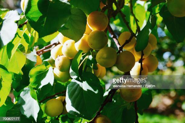 Close-Up Of Apricots Growing On Tree