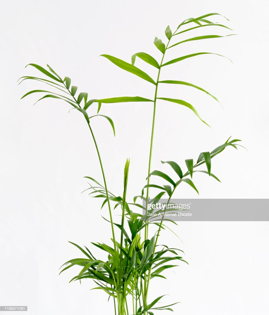 Close-Up of Areca (Chrysalidocarpus lutescens), Arecaceae in a flowerpot on a white background cut-out. : ストックフォト