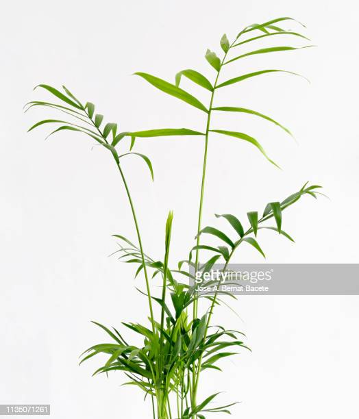 close-up of areca (chrysalidocarpus lutescens), arecaceae in a flowerpot on a white background cut-out. - twijg stockfoto's en -beelden