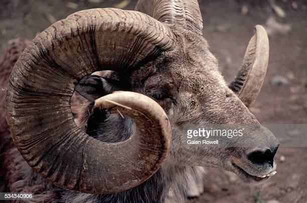 closeup of argali - argali sheep stock photos and pictures