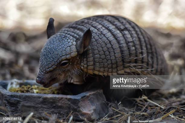 close-up of armadillo on field - armadillo stock pictures, royalty-free photos & images