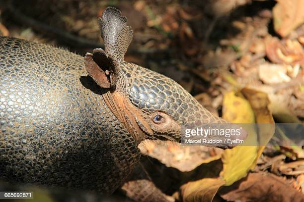 close-up of armadillo - dry mouth stock photos and pictures