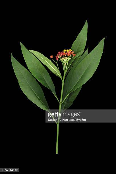 close-up of asclepias curassavica against black background - milkweed stock pictures, royalty-free photos & images