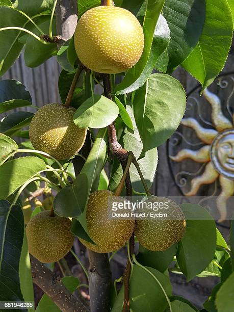Close-Up Of Asian Pears Growing On Tree