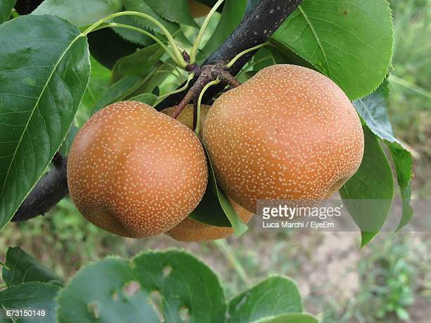 Close-Up Of Asian Pears On Tree