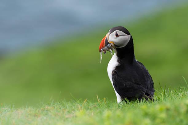 Close-up of atlantic puffin perching on grassy field,Faeroe Islands