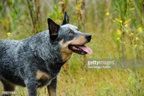 close-up of australian cattle dog panting while standing on field - australian cattle dog stock pictures, royalty-free photos & images