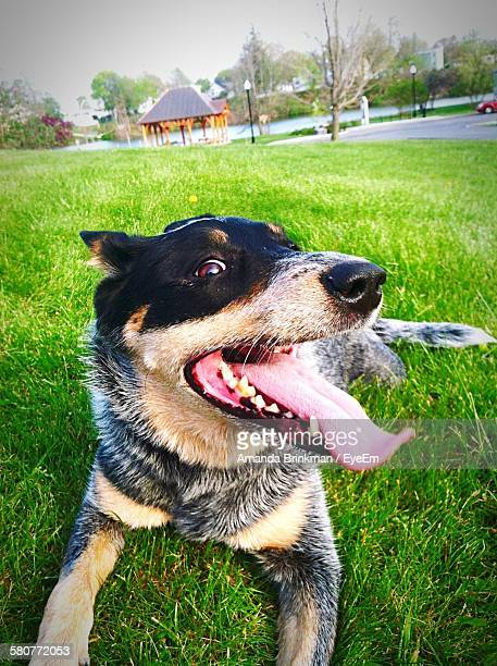 close-up of australian cattle dog resting on grassy field - australian cattle dog stock pictures, royalty-free photos & images