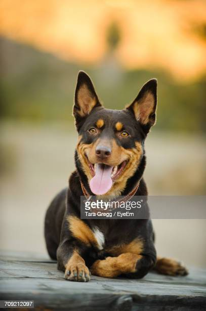 close-up of australian kelpie looking away while relaxing on wood - オーストラリアンケルピー ストックフォトと画像
