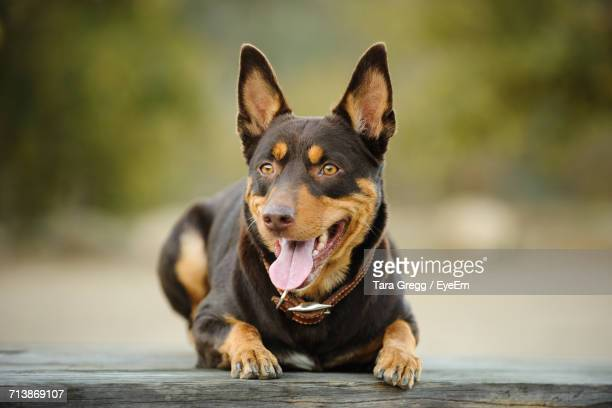 Close-Up Of Australian Kelpie Looking Away While Relaxing On Wood