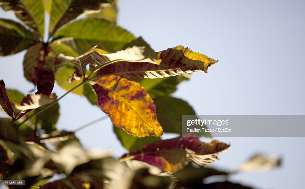Close-Up Of Autumn Leaves Against Clear Sky : Stockfoto