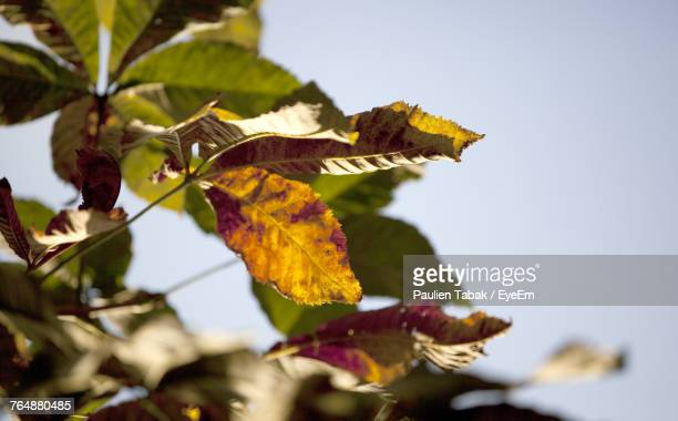 close-up of autumn leaves against clear sky - paulien tabak foto e immagini stock