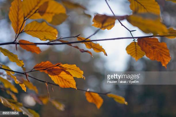 close-up of autumn leaves against sky - paulien tabak stock pictures, royalty-free photos & images