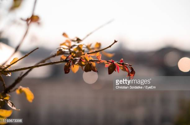 close-up of autumn leaves on tree - christian soldatke stock pictures, royalty-free photos & images