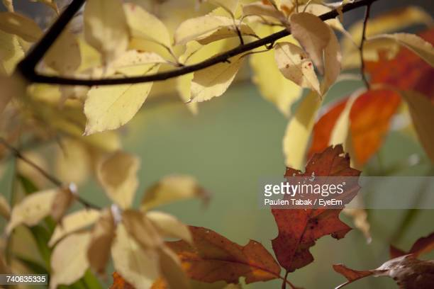close-up of autumn leaves on tree - paulien tabak stock pictures, royalty-free photos & images
