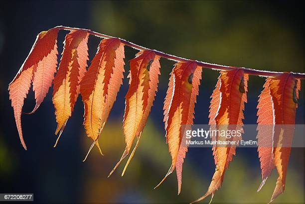Close-Up Of Autumn Leaves On Twig