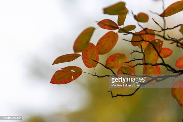 close-up of autumnal leaves against blurred background - paulien tabak 個照片及圖片檔