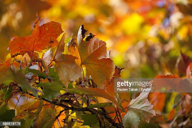 close-up of autumnal leaves against blurred background - paulien tabak foto e immagini stock
